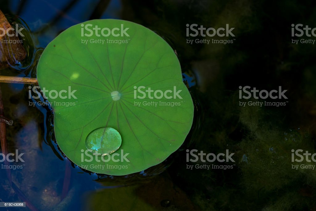 Drops of water in a lotus leaf stock photo