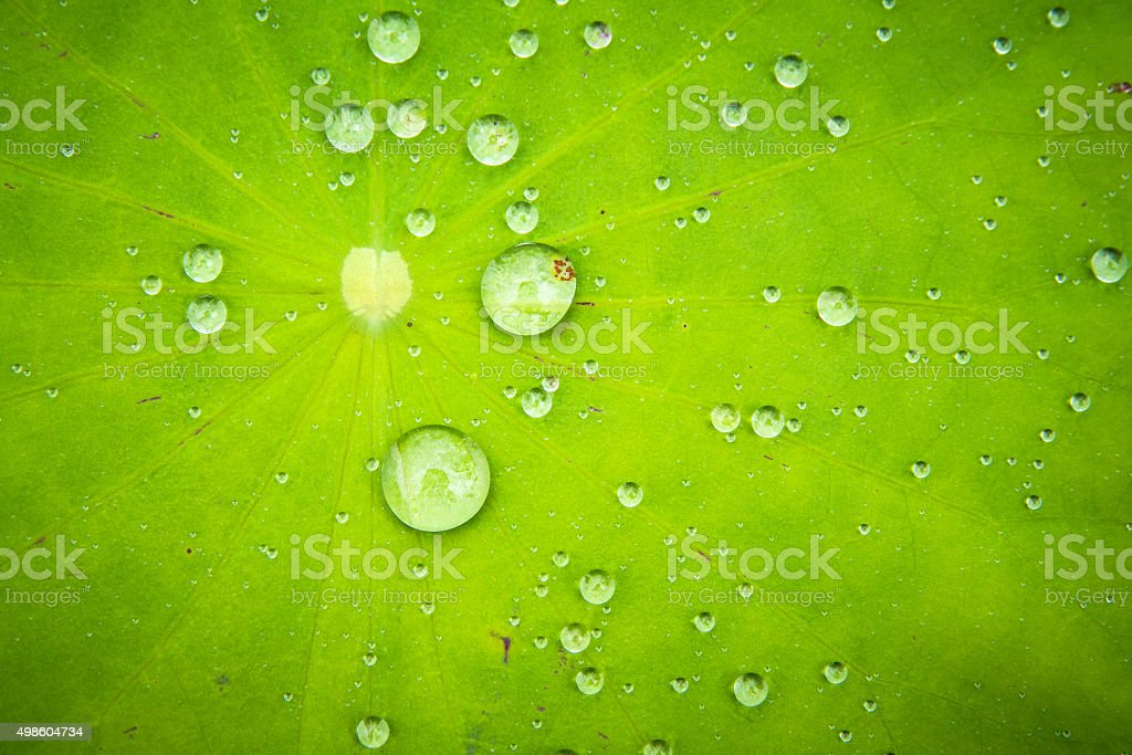 Drops of water on a lotus leaf green. stock photo