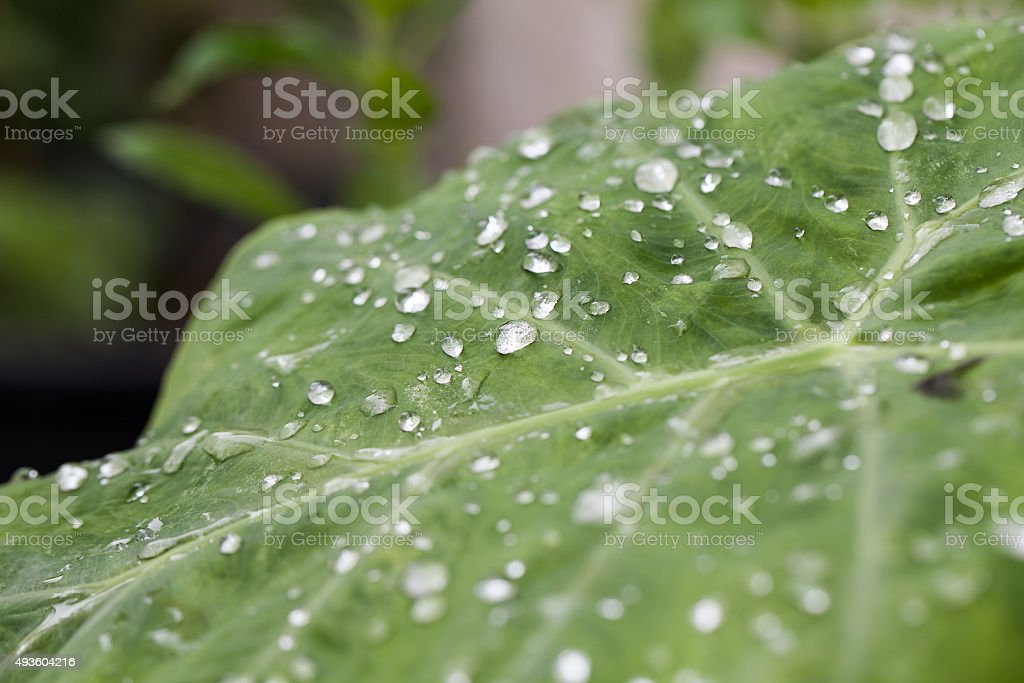 Drops of water on a lotus leaf stock photo