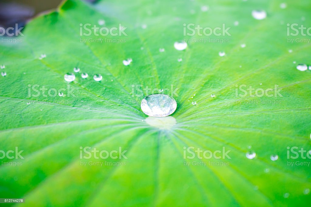 Drops of water on a lotus leaf. stock photo