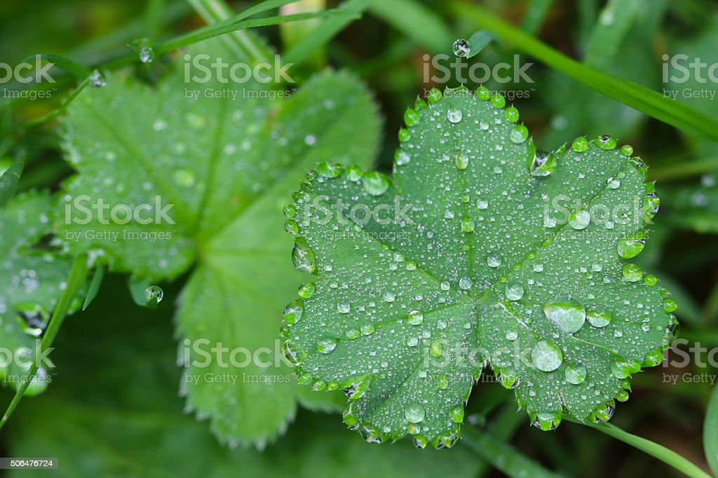 Drops of water on Lady's mantles leaves (Alchemilla) stock photo