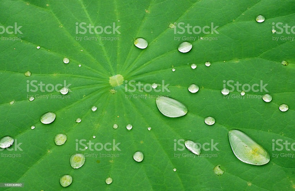 Drops of Water on Lotus Leaf royalty-free stock photo