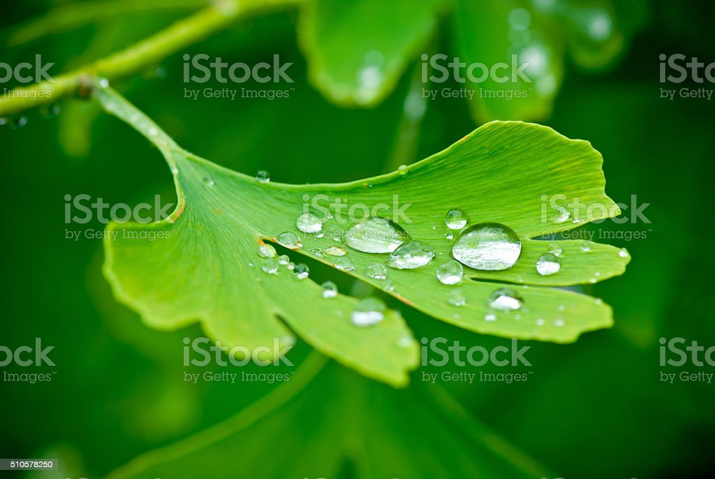 drops of water on the leav of ginkgo stock photo