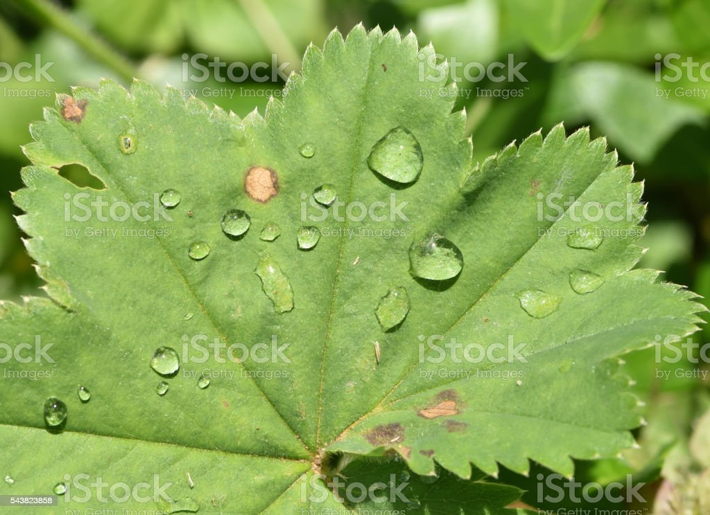 drops on a lady's mantle stock photo