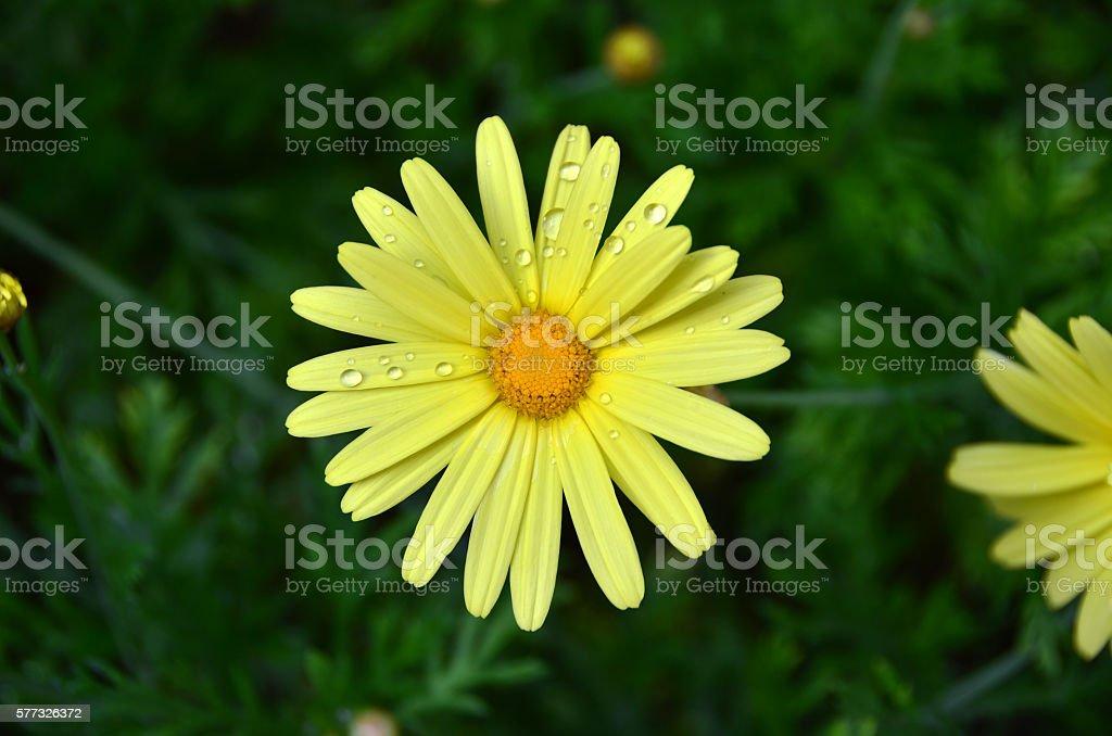 Drops on Daisy stock photo