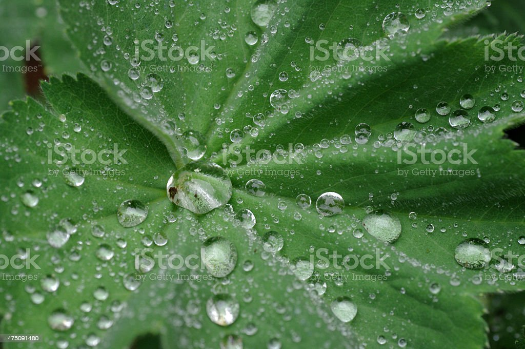 Drops on Lady's mantle stock photo