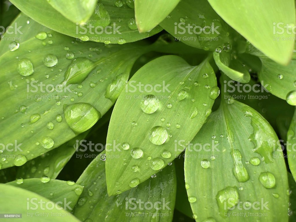 Drops On Leaves royalty-free stock photo