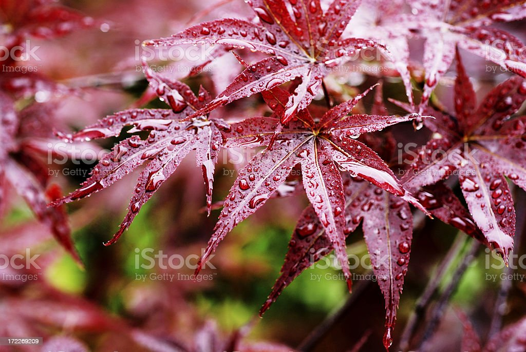 Drops on red leaves stock photo