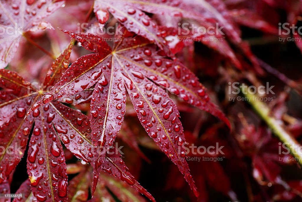 Drops on red leaves royalty-free stock photo