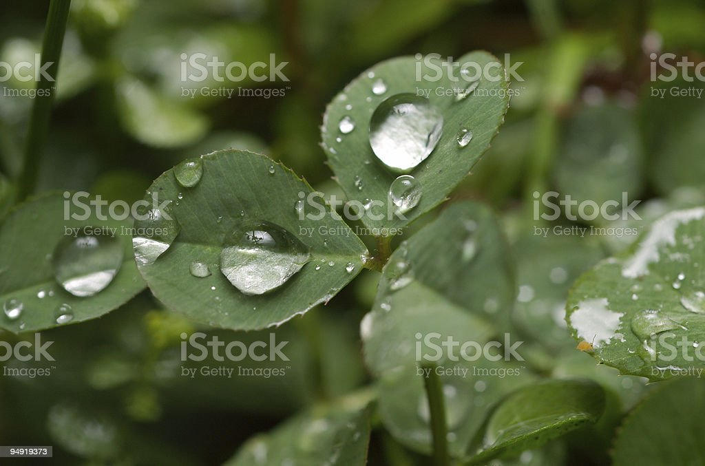 Drops on the leaves royalty-free stock photo