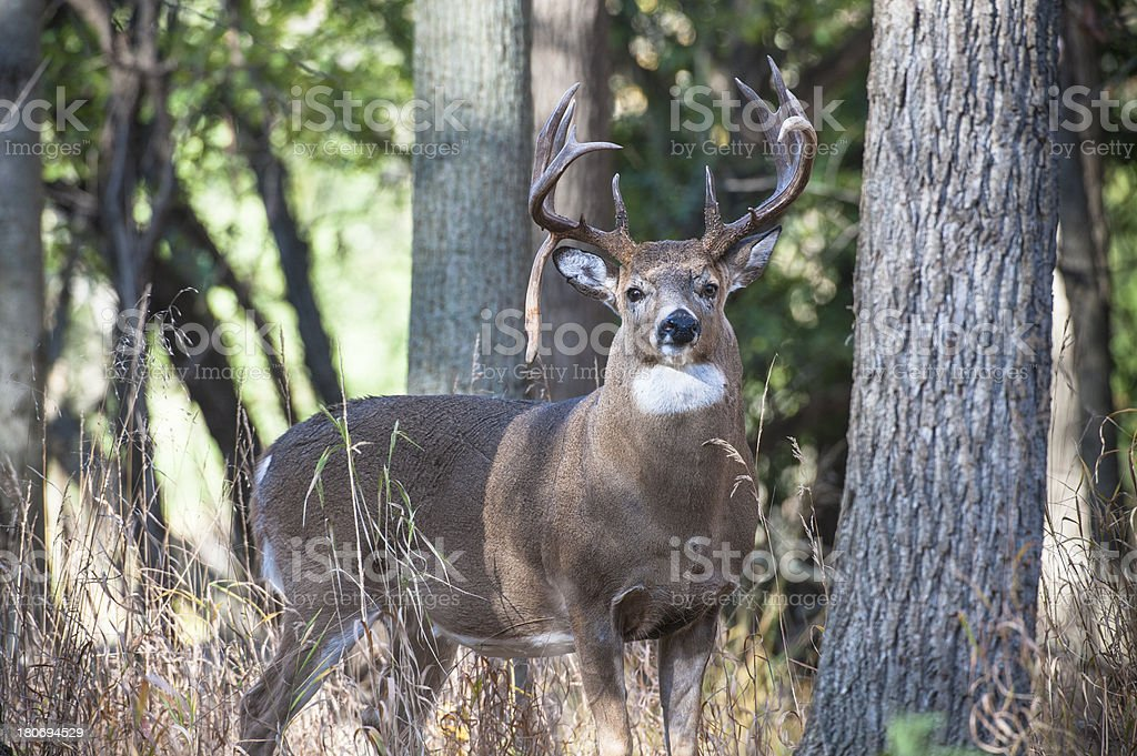 Drop-tine Buck stock photo
