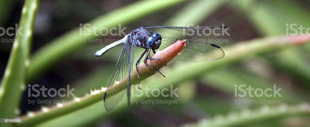 Dropwing Dragonfly royalty-free stock photo