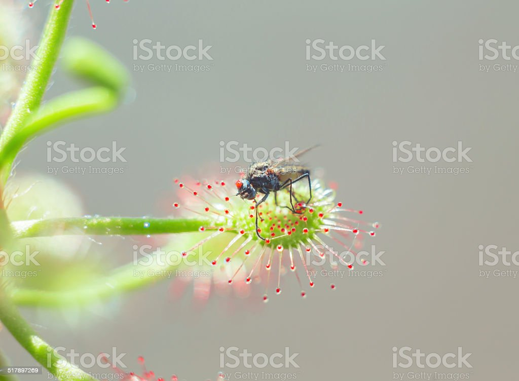 Drosera madagascariensis catch fly stock photo