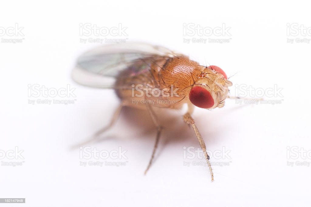 drosophila royalty-free stock photo