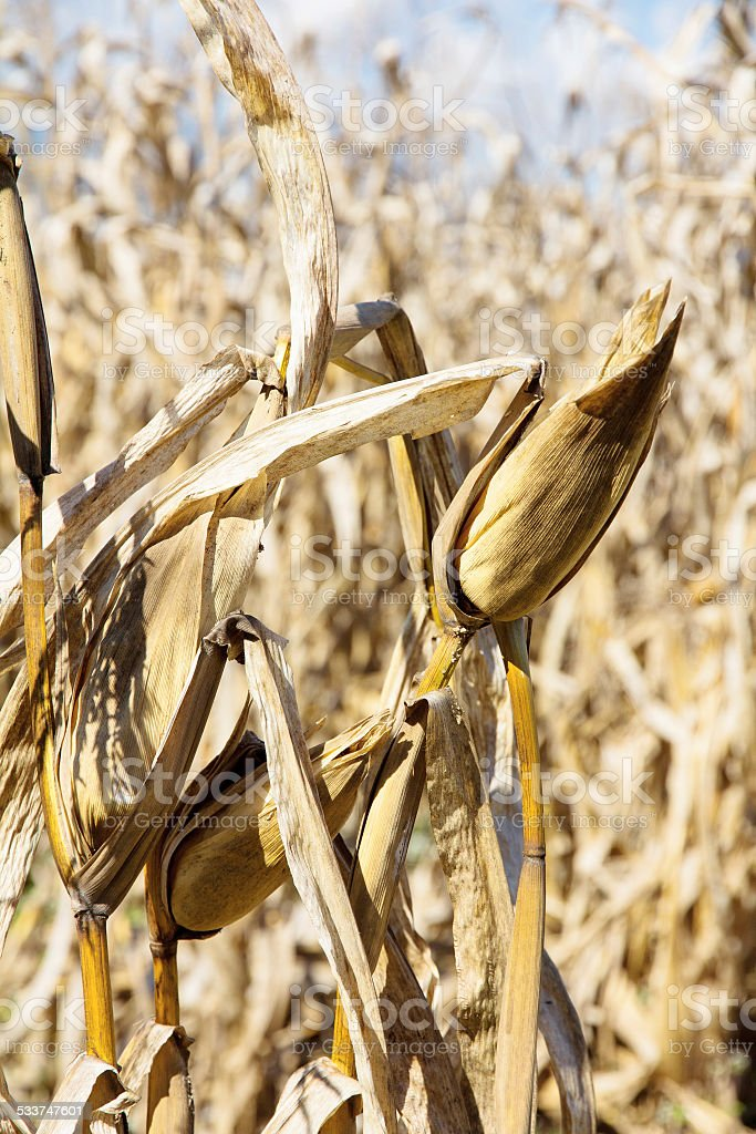 drought corn field stock photo