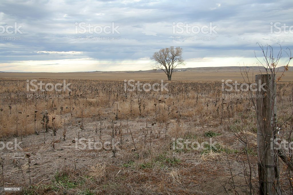 Drought Impacted Sunflower Field royalty-free stock photo