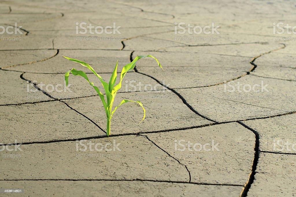 Drought on the corn field stock photo