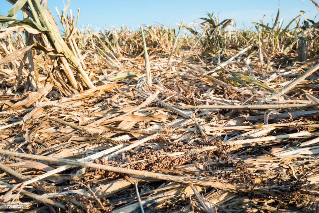 Drought ravaged crops stock photo