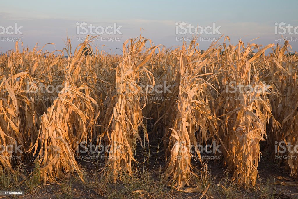 Drought stricken corn crop in Missouri USA at sunrise royalty-free stock photo