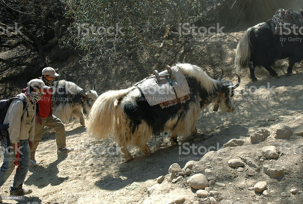 Drovers and yaks royalty-free stock photo