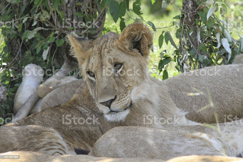 Drowsy lioness royalty-free stock photo