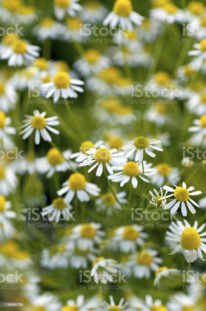 drug camomile flowers growing on green meadow royalty-free stock photo