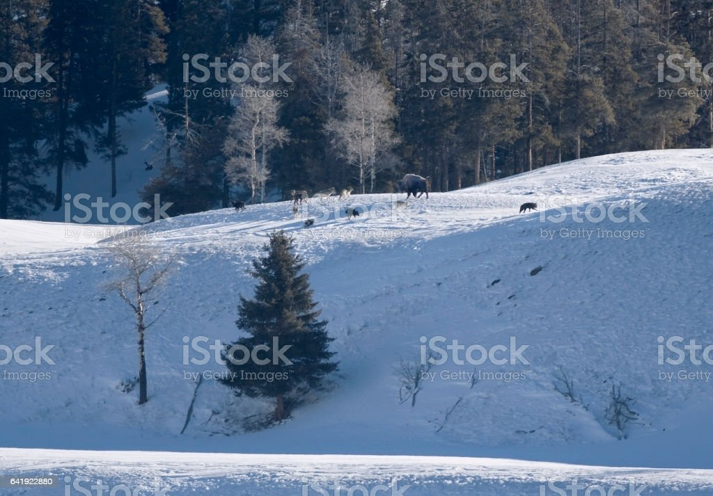 Druid wolf pack harass bison Lamar Valley Yellowstone National Park Wyoming stock photo