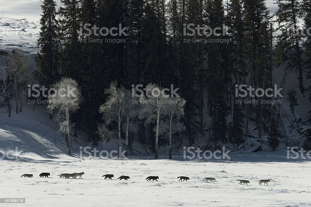 Druid wolf pack of gray timber wolves on snow Yellowstone royalty-free stock photo