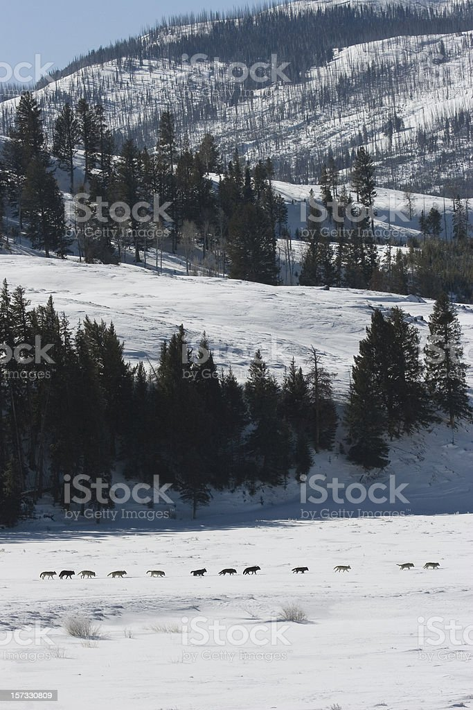 Druid wolf pack of gray timber wolves Yellowstone royalty-free stock photo