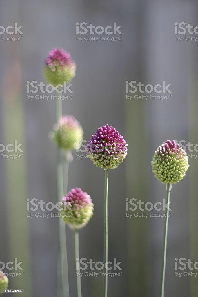 Drumstick Allium royalty-free stock photo