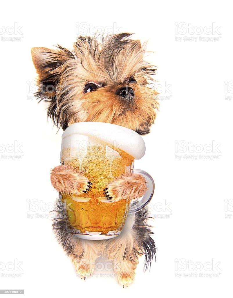 drunk dog with beer stock photo
