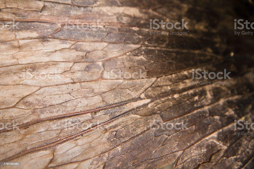 dry andinum fern(Platycerium coronarium fern) royalty-free stock photo