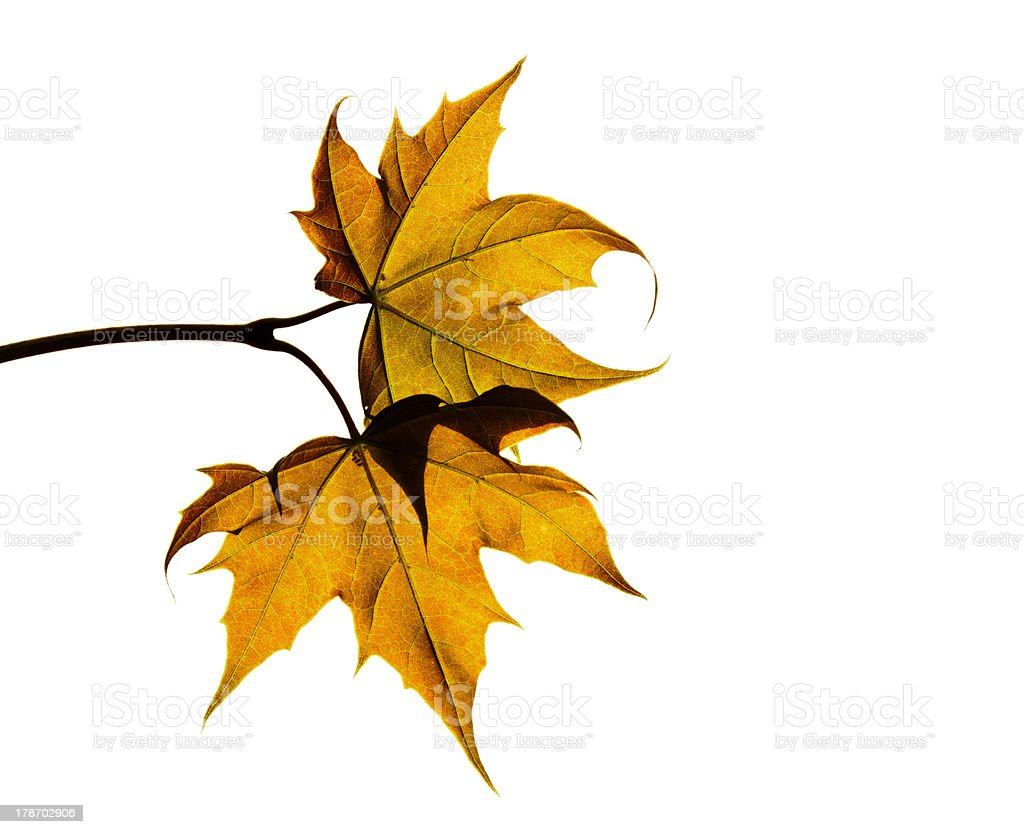 Dry autumn leaves on white background royalty-free stock photo