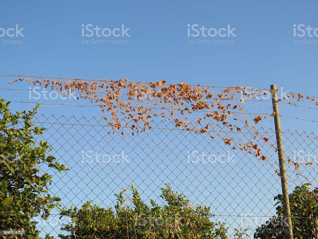Dry bindweed on fence stock photo