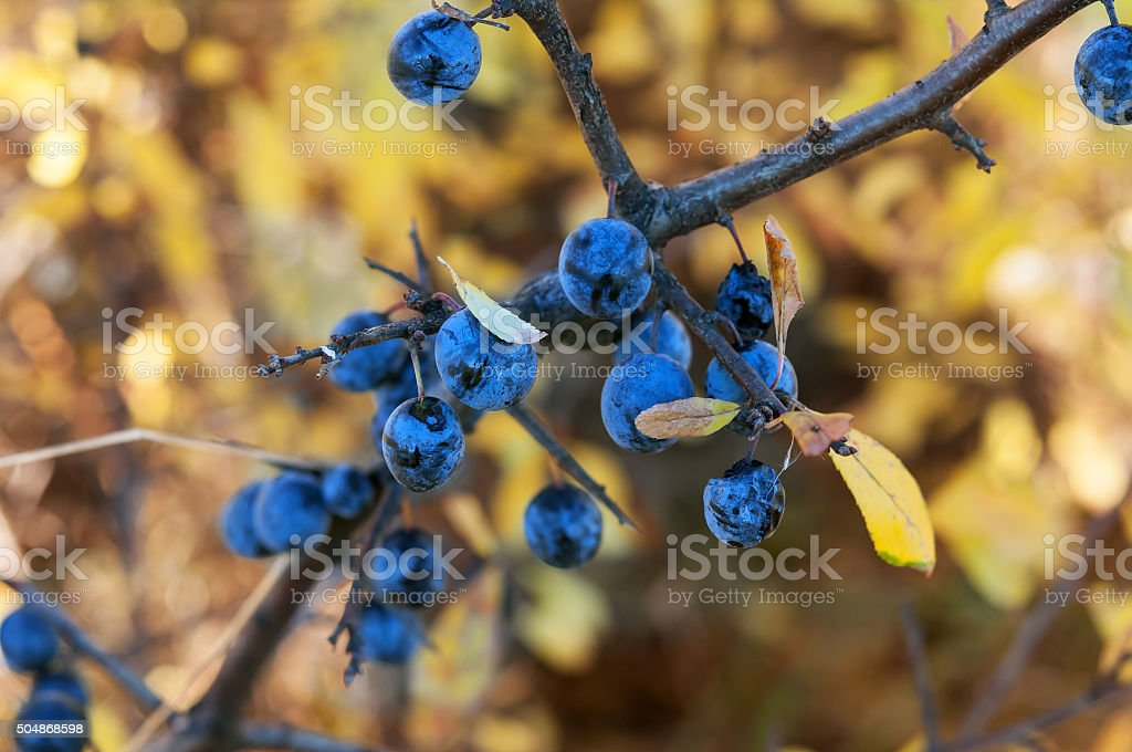 dry blackthorn stock photo