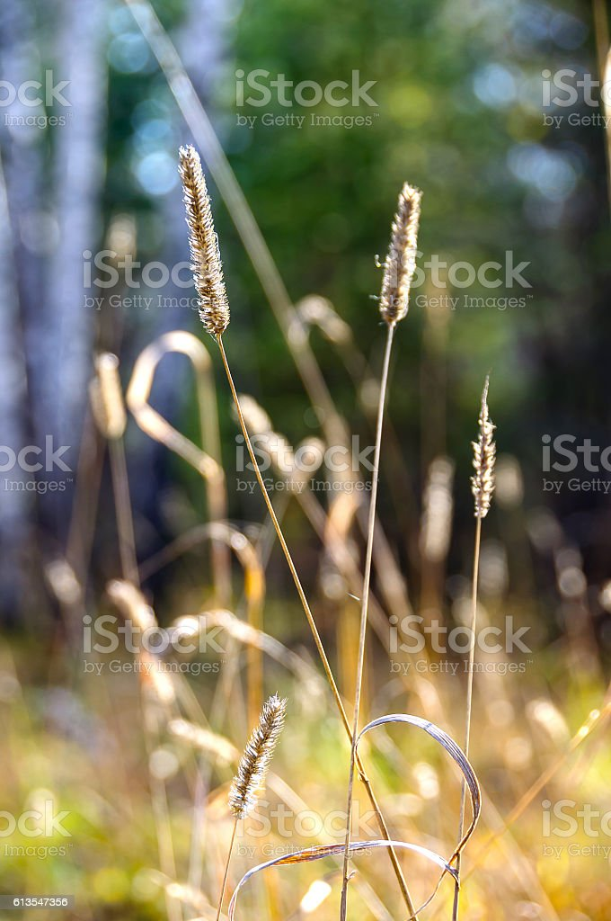 Dry blade of grass in autumn forest stock photo