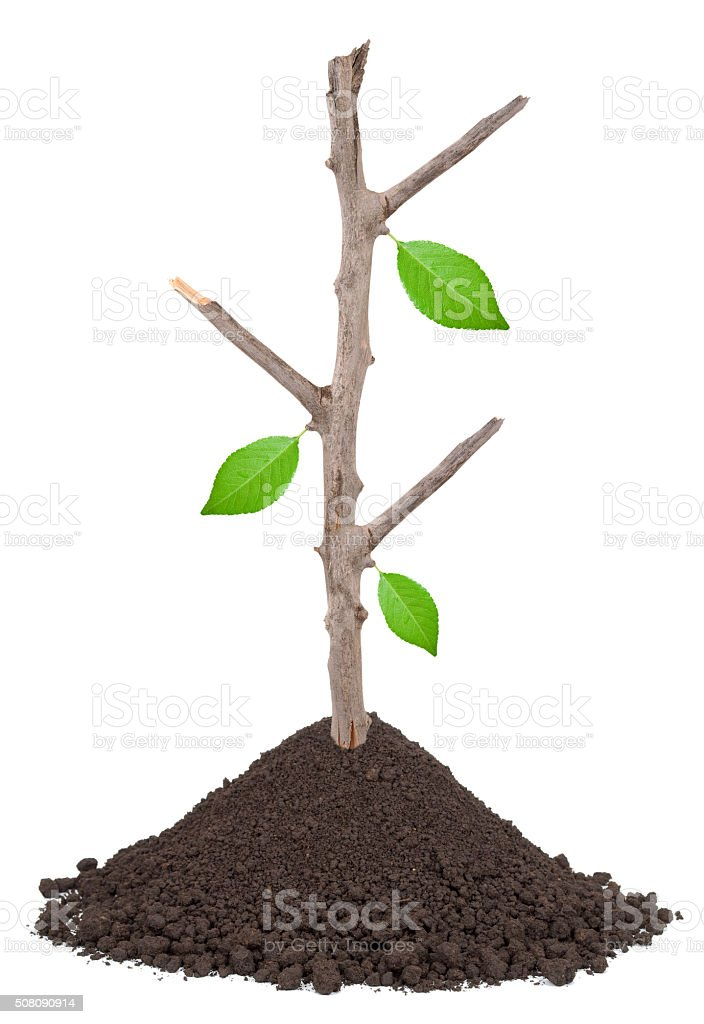 Dry branch with green leafs  in a pile of soil stock photo
