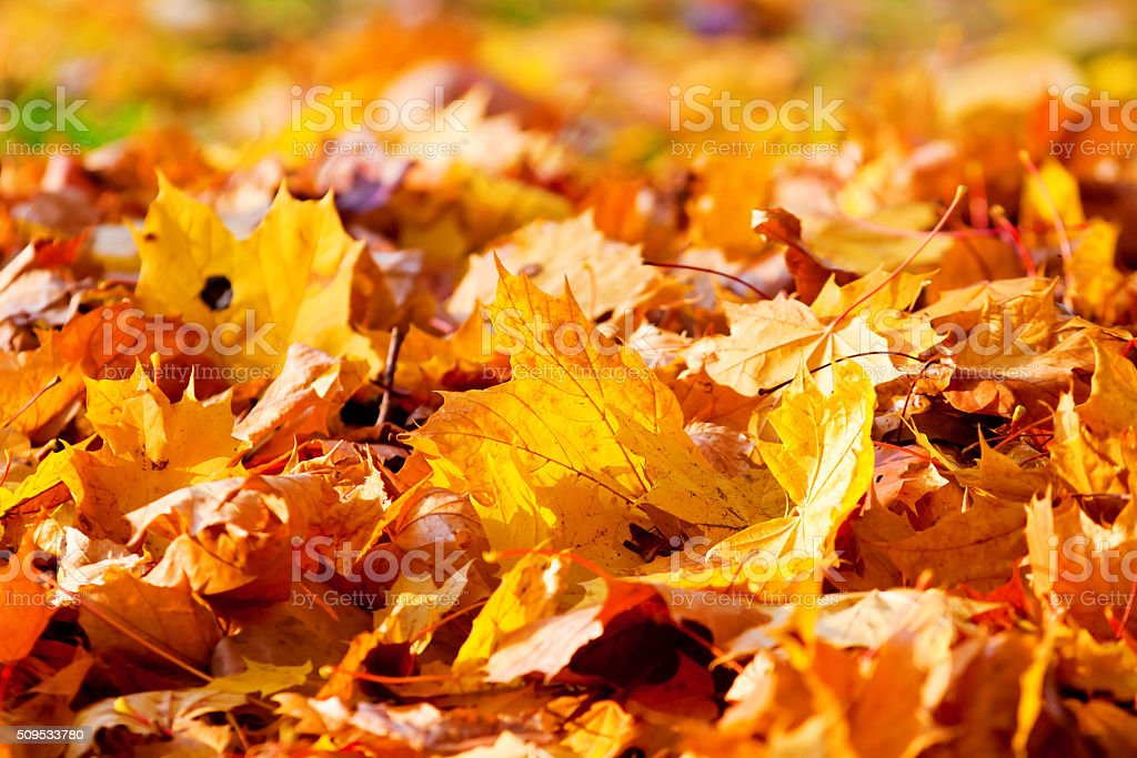 dry brown and yellow maple leaves stock photo