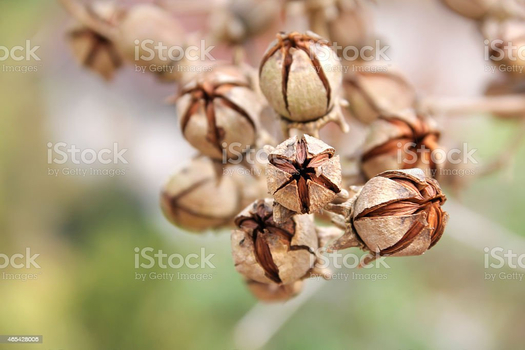 Dry brown flower seed royalty-free stock photo