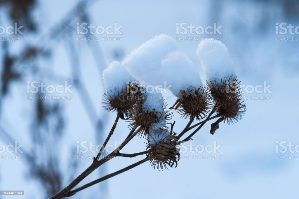 Dry common burdock with large caps of snow stock photo