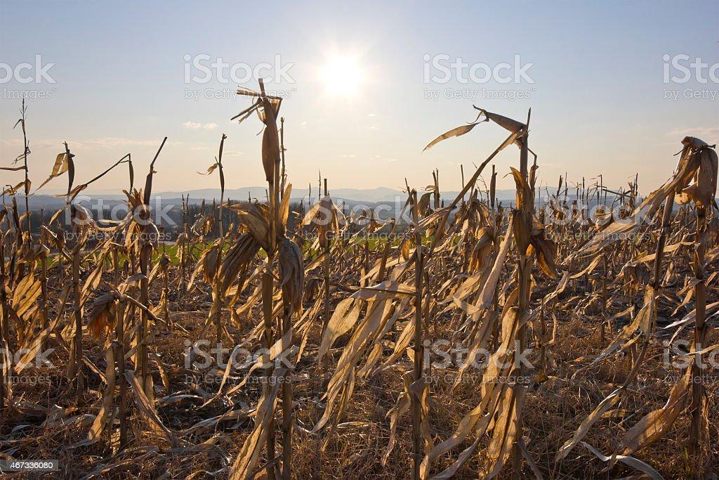 dry corn field illuminated with light of setting sun stock photo
