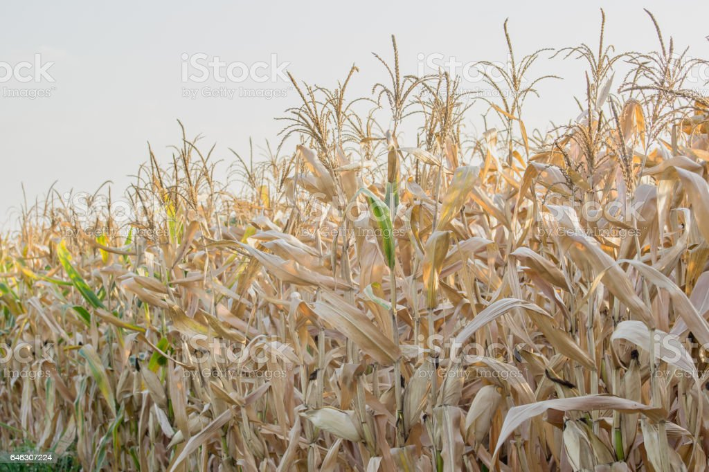 dry corn field in agricultural garden stock photo