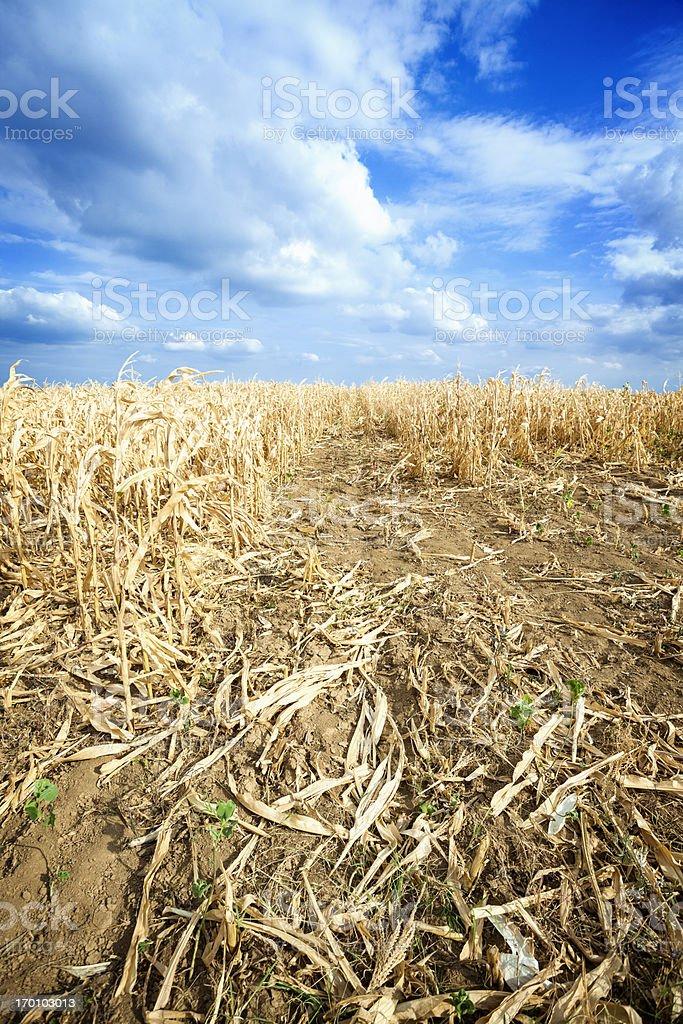 Dry corn field royalty-free stock photo