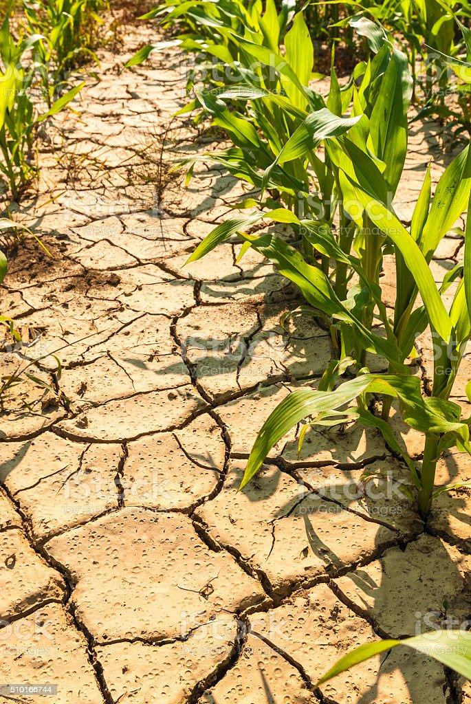 dry corn field stock photo