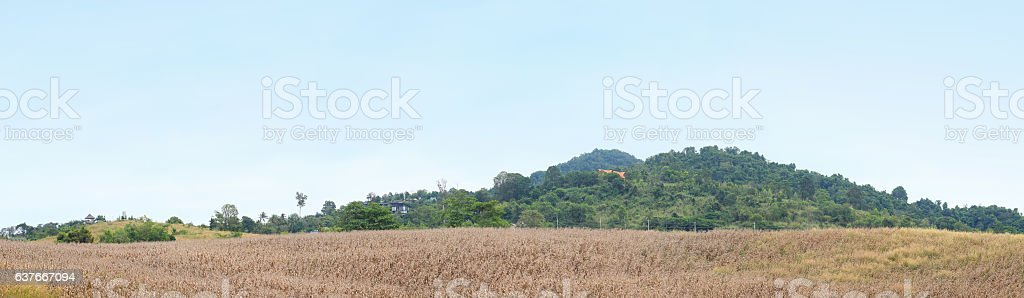Dry corn in the agricultural field, Thailand stock photo