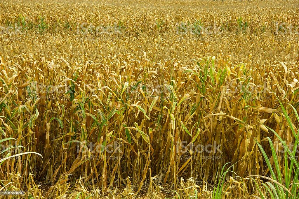 Dry Corn stock photo