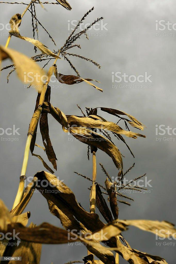 Dry Corn Stalks royalty-free stock photo