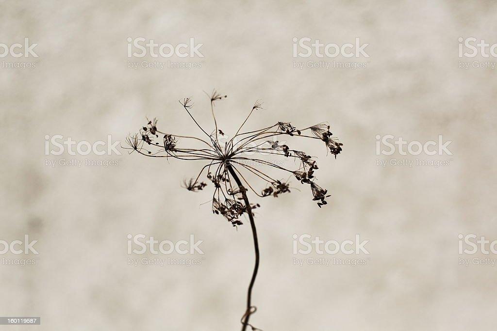 dry cumin royalty-free stock photo