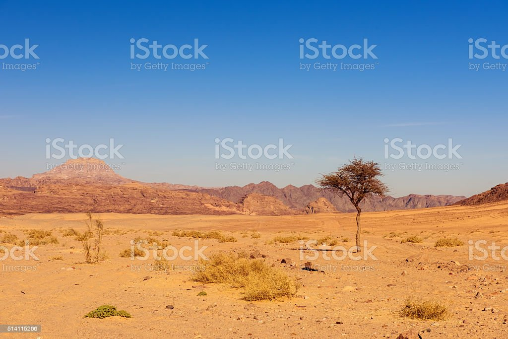 dry desert and tree sinai egypt stock photo