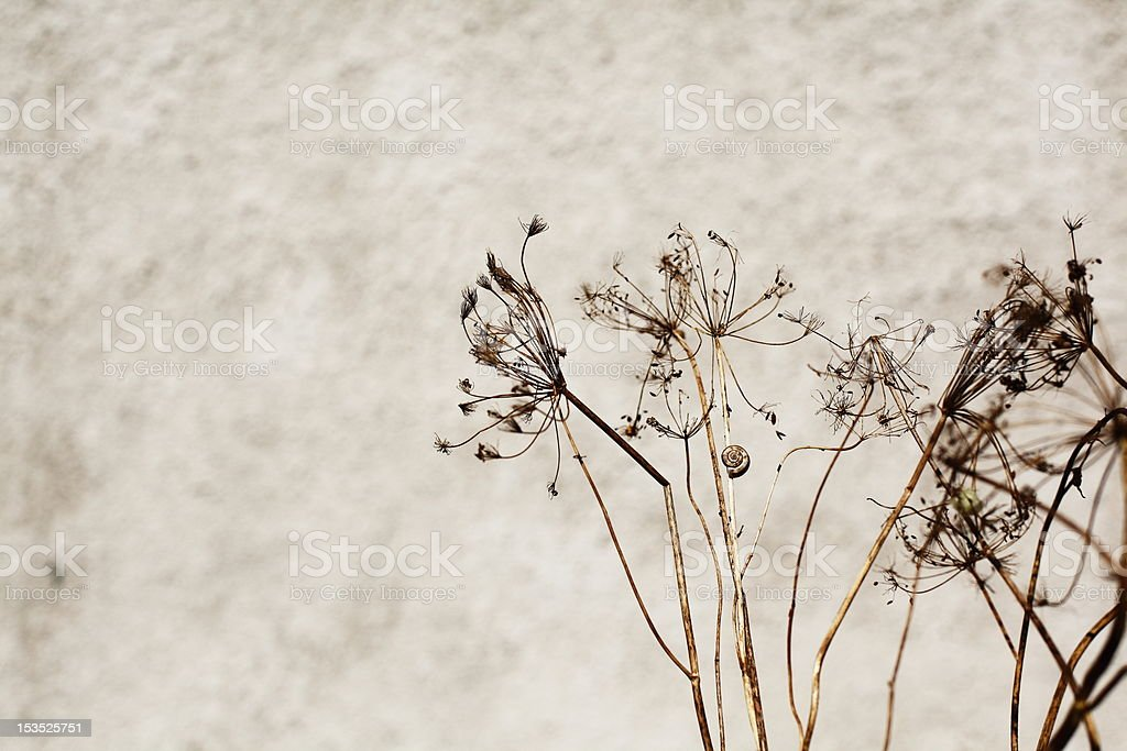 dry dill and snail royalty-free stock photo